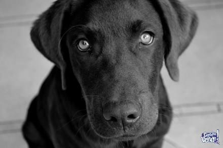 Perros Labradores Cachorros Chocolate ! Hace tu reserva !