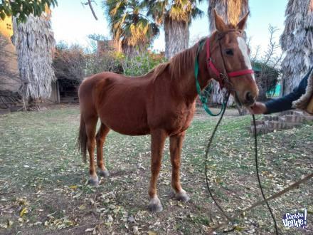 Yegua mansa de andar, 7 años de edad en Argentina Vende