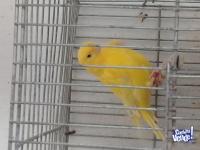 Canarios. Amarillos