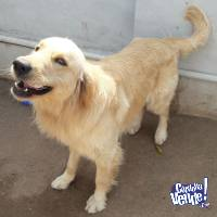 Golden Retriever Macho para Monta