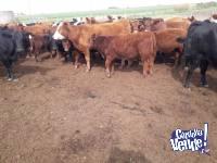 Vendo  Invernada 180 Kg Primera Calidad Cruza Hereford/Angus