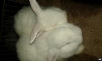 conejos para carne hembras y machos