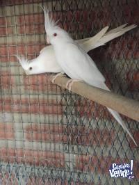 Cocotillas albinas